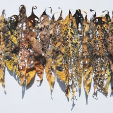 Leaf Fragment by Barbara Schneider