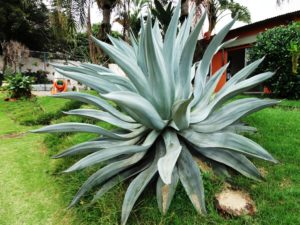Agave Azul, the plant from which we get Pulque, Mezcal and Tequila